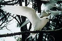 birds, white tern or fairy tern, Gygis alba rothchildi, Midway Atoll, Papahanaumokuakea Marine National Monumen, Northwestern Hawaiian Islands, Hawaii, Pacific Ocean