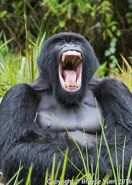 Gorilla Silverback Yawn Rwanda 2015
