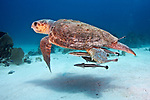 Caretta caretta, Loggerhead sea turtle, Florida Keys