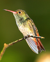 Adult male rufous-tailed hummingbird