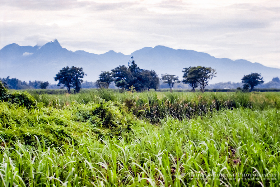 Java, East Java, Trowulan. Sugar canes are an important crop in this area. In the background some high mountains.