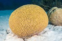 Grooved Brain Coral, Diploria labyrinthiformis, Bonaire, Netherland Antilles, Netherlands, Caribbean Sea, Atlantic Ocean