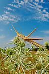 A Mediterranean Slant-faced Grasshopper (Acrida ungarica) in habitat, Italy.