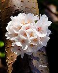 Cherry Blossoms Washington DC