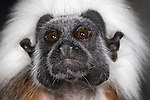 Cotton Top Tamarin, Saguinus oedipus