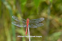 06663-00109 Ruby Meadowhawk dragonfly (Sympetrum rubicundulum) male, Jo Daviess Co.  IL