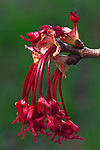 Red maple (Acer rubrum) in spring bloom