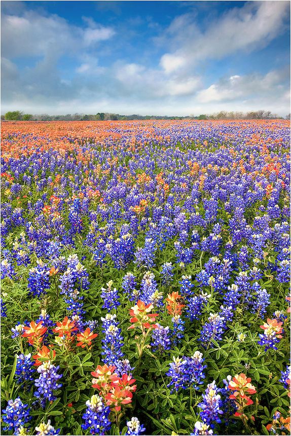 Spring in Texas means wildflowers. This photograph of beautiful colors comes from a dirt road near Whitehall, Texas. Bumblebees were my friends on this peaceful morning. Fortunately, none of the bees were annoyed with my presence as a stayed a while to capture the changing clouds over bluebonnets and firewheels.