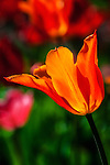 One red and orange tulip lit by the sun