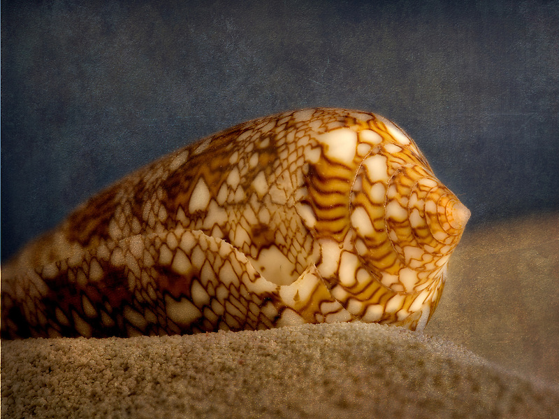 Close up of Textile Cone seashell on beach sand.