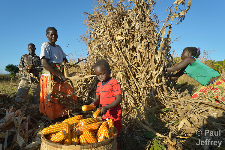 Three-year old Jacob places ears of corn into a basket as his father, Jacob Mvula (left), mother Modesta Munyayi and neighbor Maureen Ngulube harvest corn in Edundu, Malawi. They and other farmers in the village have benefited from intercropping and crop rotation practices they learned from the Malawi Farmer-to-Farmer Agro-Ecology project of the Ekwendeni Mission Hospital AIDS Program, a program of the Livingstonia Synod of the Church of Central Africa Presbyterian.