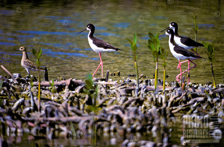 Hawaiian stilts along a fishpond located in the Kaloko-Honokohau National Historical Park, Kona Coast