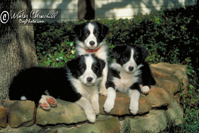 Border Collie Shopping cart has 3 Tabs:<br /> <br /> 1) Rights-Managed downloads for Commercial Use<br /> <br /> 2) Print sizes from wallet to 20x30<br /> <br /> 3) Merchandise items like T-shirts and refrigerator magnets
