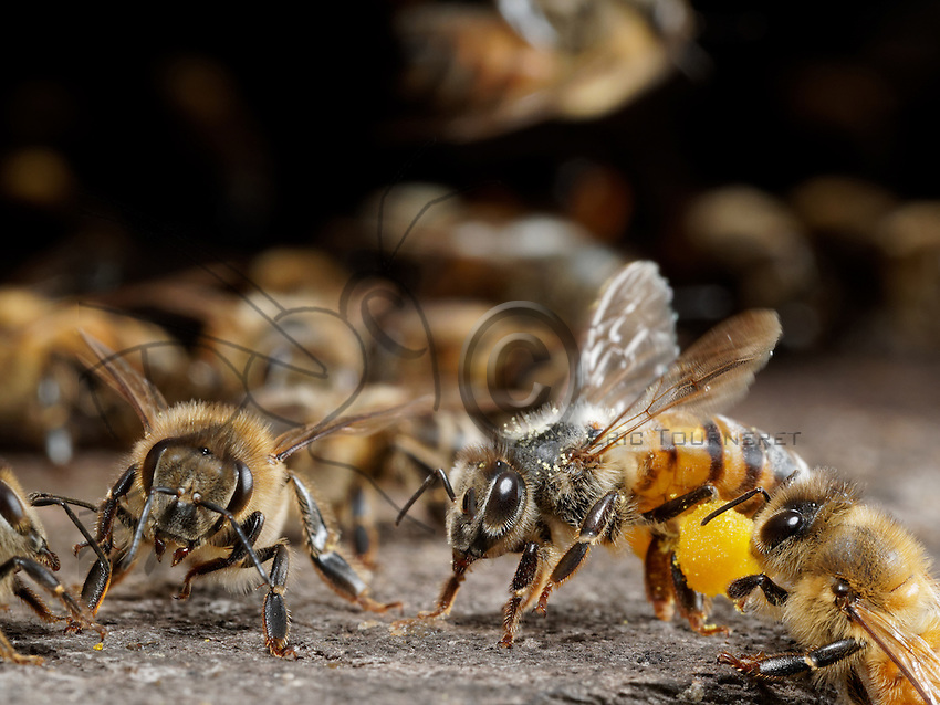 honeybees with pollen ball outside the hive.