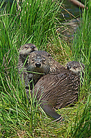 Northern River Otter (Lontra canadensis) mom with two pups on a grass covered log along the edge of a lake.  Western U.S., summer..