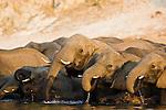 Elephant breeding herd drinking in Chobe River, Chobe National Park, Botswana