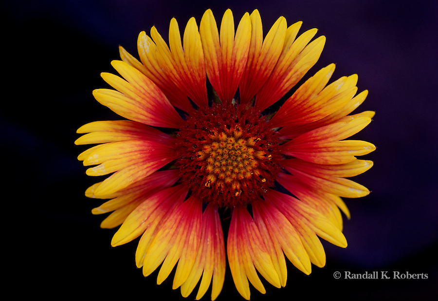 Gallardia aristata or Blanketflower, close up, New Mexico