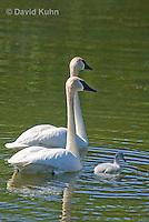 0201-1101  Trumpeter Swan Pair with Their Cygnet (Young Swan), Bugler Swan, Cygnus buccinator  © David Kuhn/Dwight Kuhn Photography