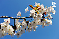 Almond tree in flower at spring, close-up (Licence this image exclusively with Getty: http://www.gettyimages.com/detail/101682976 )