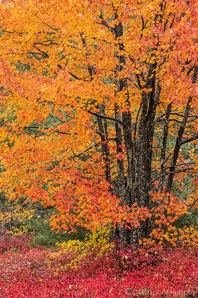 colorful yellow tree in bed of red wild blueberry