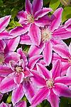 Clematis flower blooming.