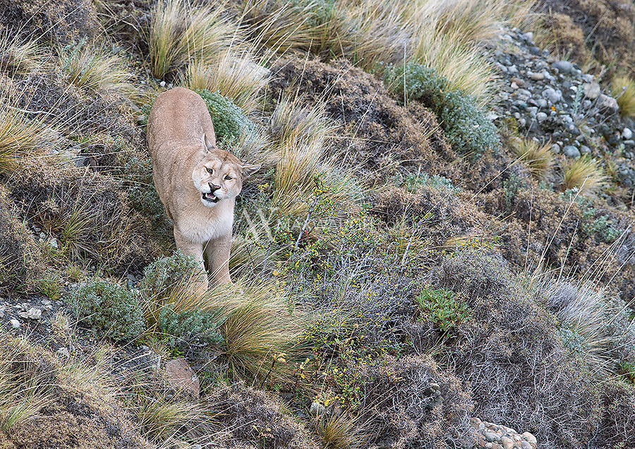 One of the more interesting interactions we witnessed centered around a female puma in heat.  She was courted by a couple different suitors.  Here, she calls out letting the boys know she wants attention.