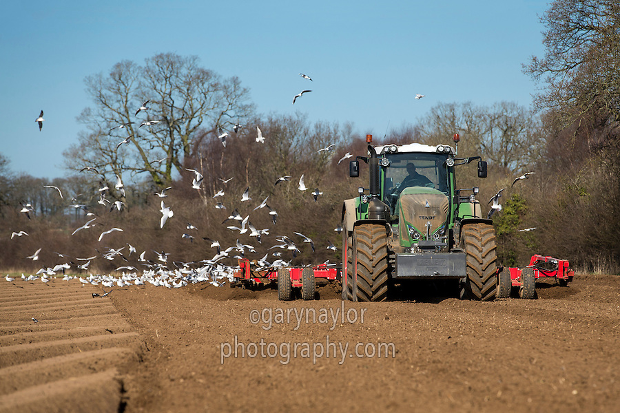 Fendt 828 with Sumo ridger forming ridges for destoning - Norfolk, March