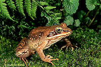 FR19-024z  Wood Frog - adult - Lithobates sylvaticus, formerly Rana sylvatica