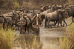 Wildbeest migration