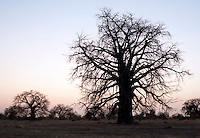 The silhouette of a large Baobab tree, near the village of Nyaro, Kordofan region, Sudan