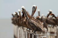 Adult Brown Pelicans (Pelecanus occidentalis) preening. Baldwin County, Alabama. June.