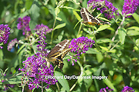 03017-01219 Giant Swallowtail butterflies (Papilio cresphontes) male and female at Butterfly Bush (Buddleia davidii)  Marion Co., IL
