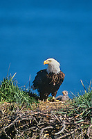 Bald eagle with young chick at nest,  Kodiak Island National Wildlife Refuge, Alaska, June.