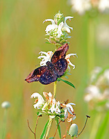 Male sickle-winged skipper on horse mint