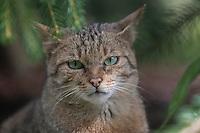 Wildkatze, Porträt, Portrait, Wild-Katze, Katze, Felis silvestris, wild cat, Wildtier des Jahres 2018