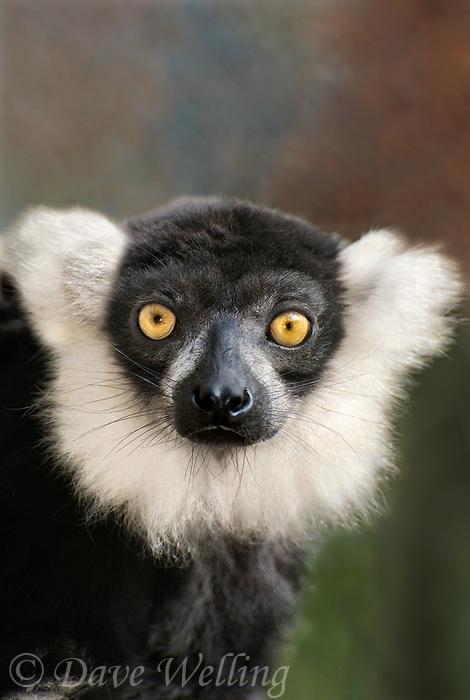 654050002 portrait of a ruffed lemur varecia variegata - animal is a wildlife rescue animal