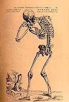 Science:  Vesalius--Posterior, view of Skeleton from the FABRICA, 1543.  Photo '84.
