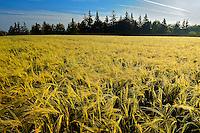 2-Row barley at sunrise with dew<br /> Kelby<br /> Prince Edward Island <br /> Canada