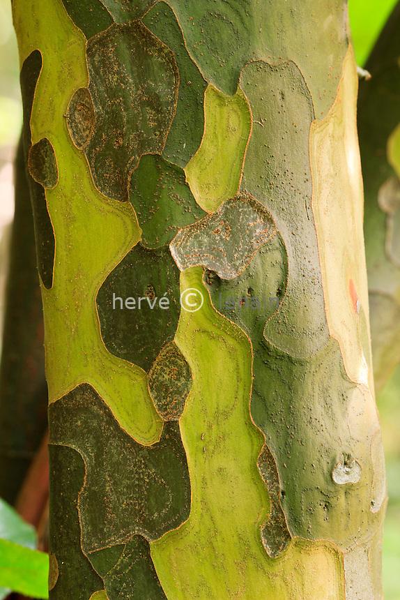 Écorce du tronc d'un cognassier de Chine, Pseudocydonia sinensis // Bark of Pseudocydonia sinensis (Chinese Quince)