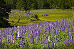A lupine meadow in Harrington, Downeast ME, USA