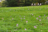 Four chairs + Colchicum speciosum fall crocus, autumn flowering bulb