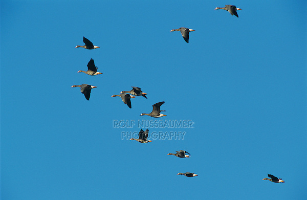 Greater White-fronted Goose, Anser albifrons, flock in flight, Lake Corpus Christi, Texas, USA, March 2003