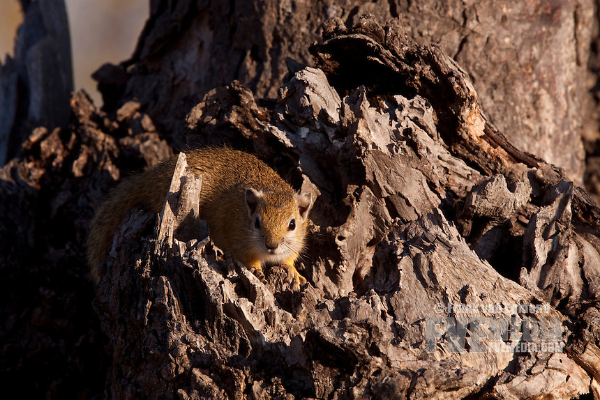Tree Squirrel.June 2009, winter..Balule Private Nature Reserve, York section..Greater Kruger National Park, Limpopo, South Africa.