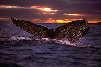 The sunset was digitally added to this image of a humpback whale, Megaptera novaeangliae,  lifting it's tail to dive.  Hawaii.