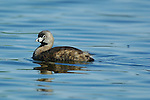 Pied-Billed Grebe, Breeding Plumage, Sepulveda Wildlife Refuge, Southern California