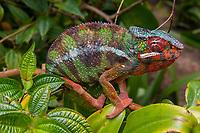 Africa, Madagascar, Island, Andasibe-Mantadia Park. Panther chameleon.