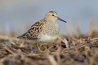 Adult female pectoral Sandpiper (Calidris melanotos). Seward Peninsula, Alaska. May.