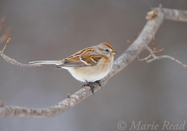 American Tree Sparrow (Spizella arborea), in winter, New York, USA
