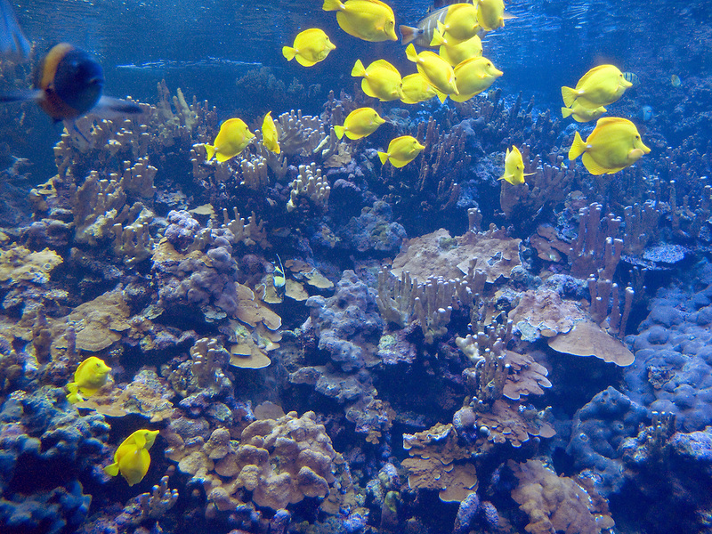 Yellow Tang fish. Maui Ocean Center, Maui, Hawaii
