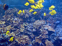 Yellow Tang fish. Maui Ocean Center, Maui, Hawaii